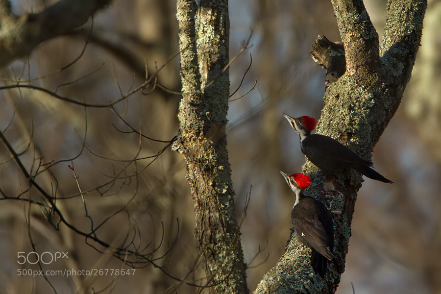 Photograph Pileated Woodpecker by Patryk Osmola on 500px