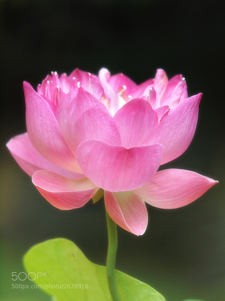 Photograph lotus by Irawan Subingar on 500px