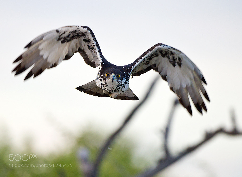 Photograph African Hawk Eagle by Bridgena Barnard on 500px