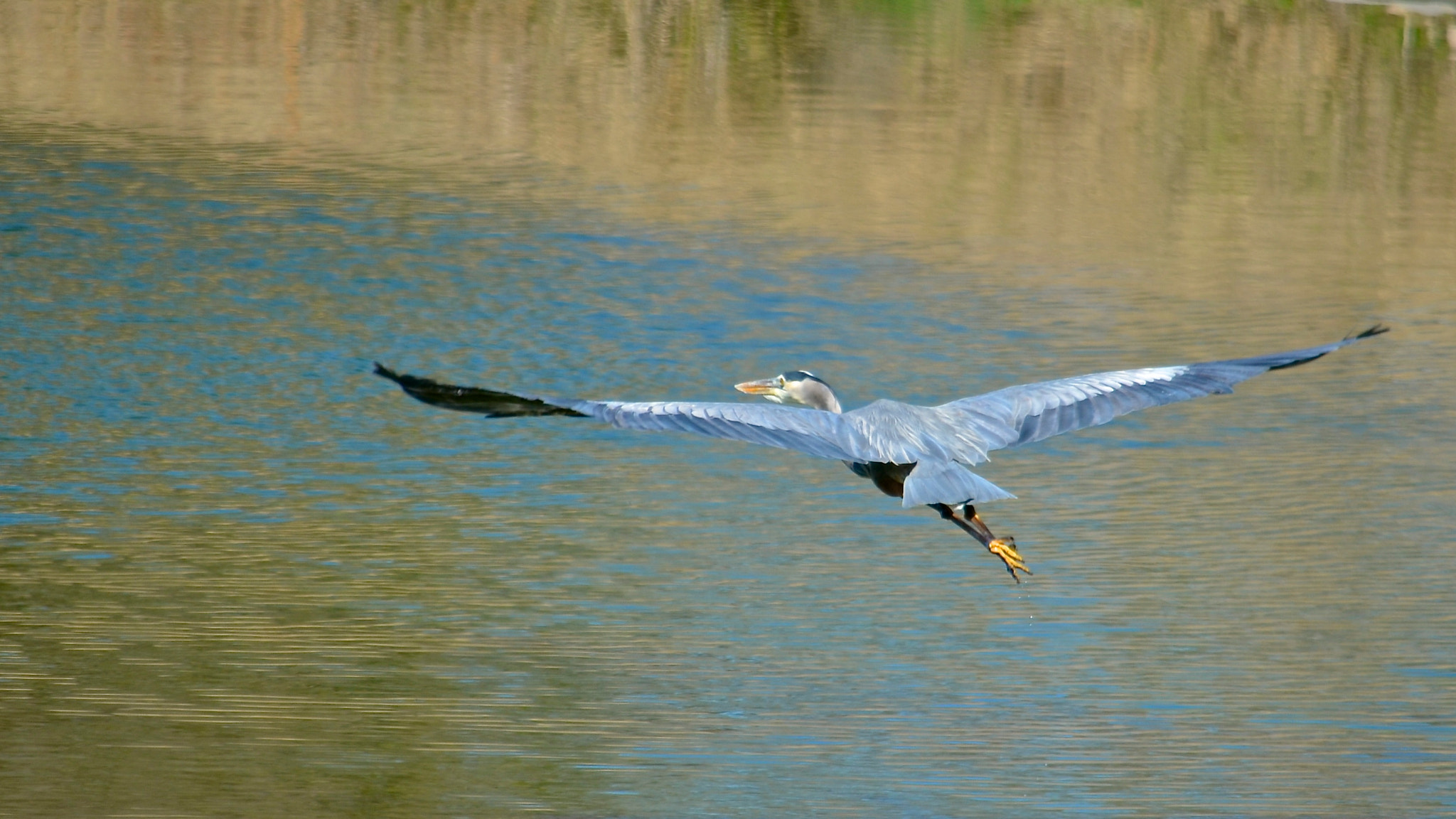 Photograph Great Blue Heron Flyby II by Steven Bach on 500px