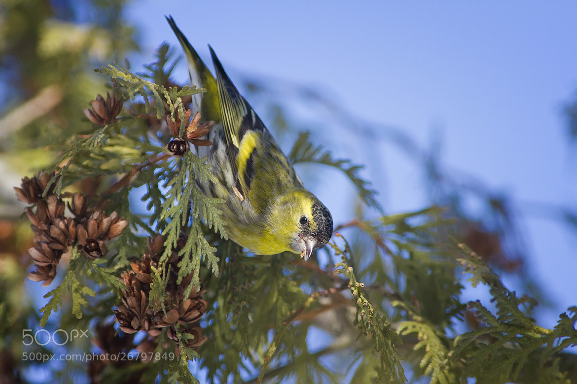 Photograph Siskin by Dmitriy Golubev on 500px