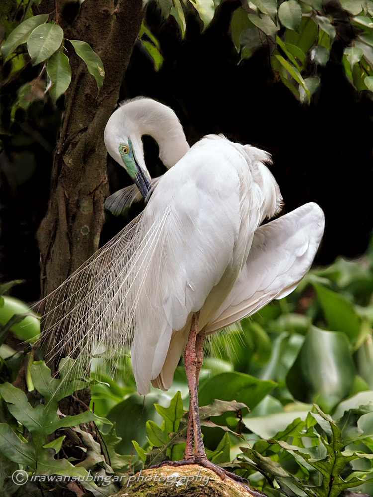 Photograph preening by Irawan Subingar on 500px