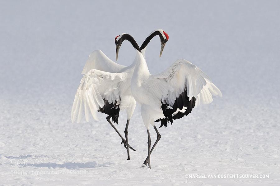 Photograph Winter Dance by Marsel van Oosten on 500px