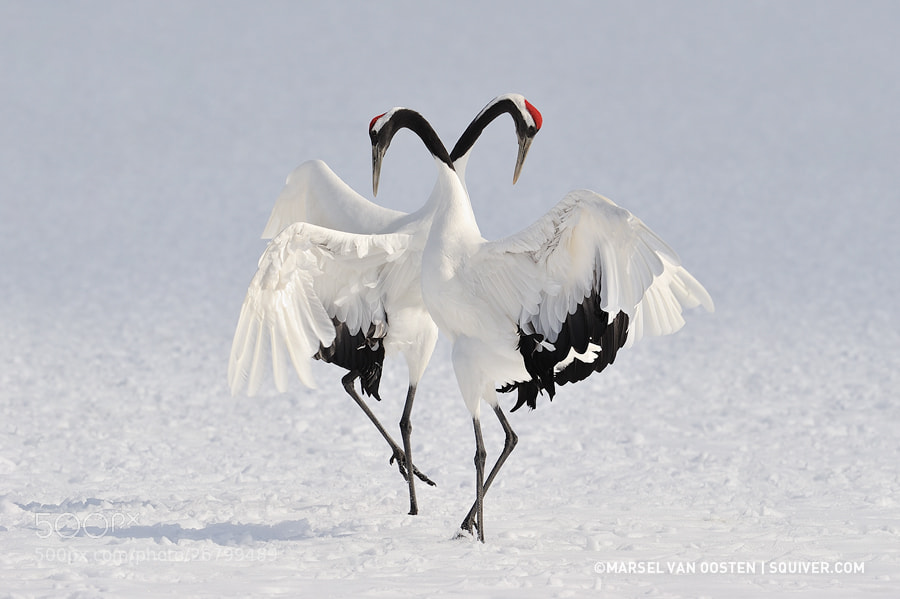 Winter Dance by Marsel van Oosten