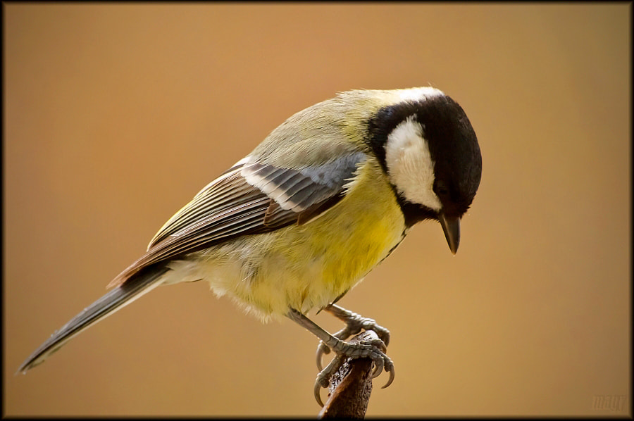 Photograph Parus major  by Merl Antal György on 500px