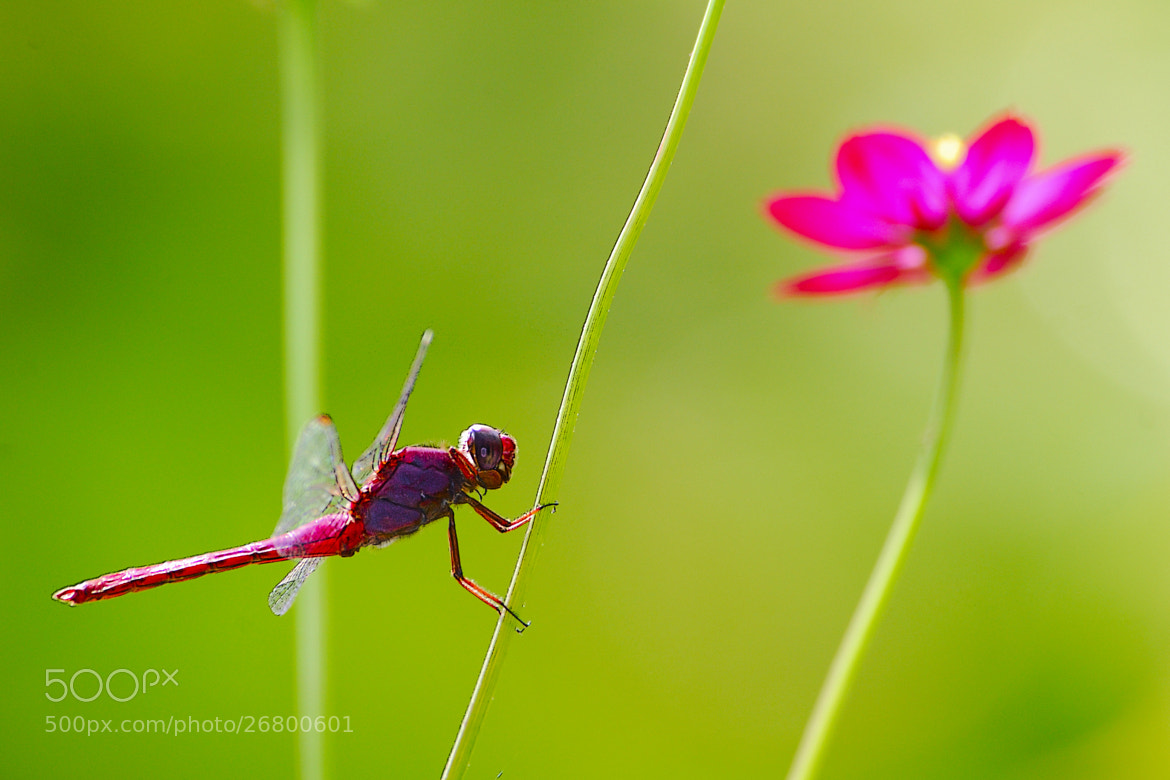 Photograph Dragonfly and flower by Paco López on 500px