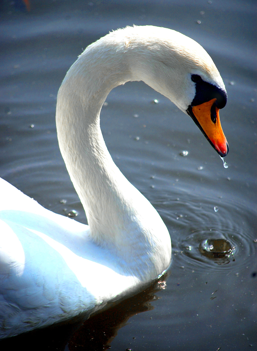 Photograph Swans head by James Mcconnon on 500px