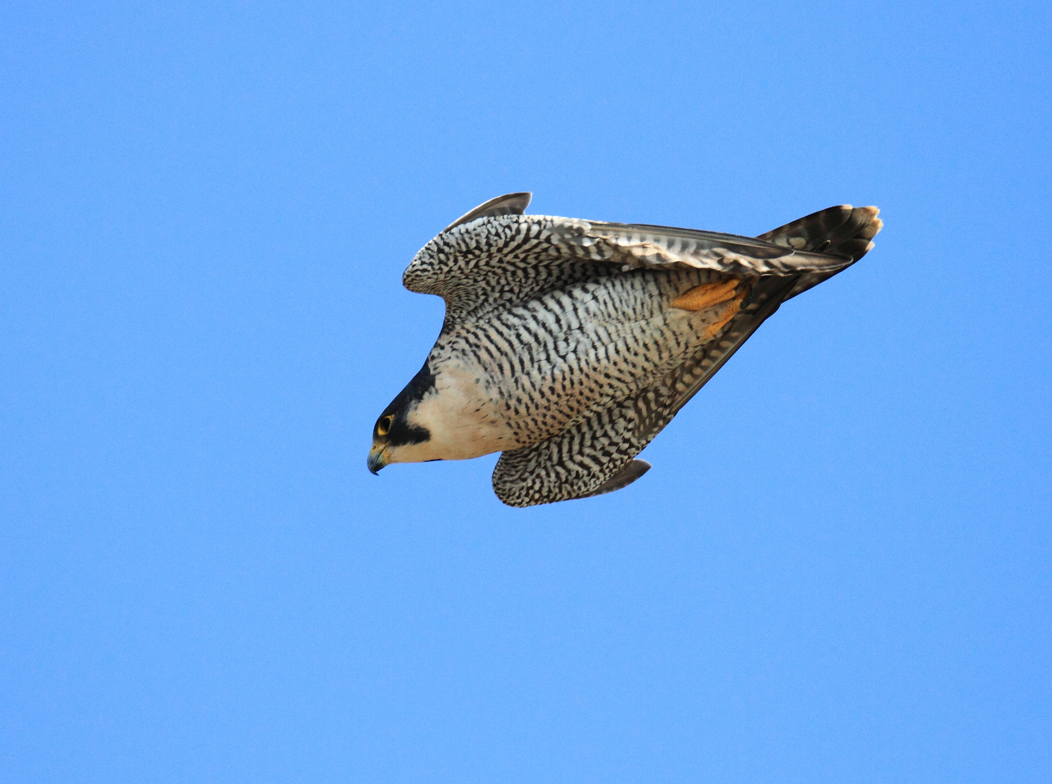 Photograph Peregrine Falcon in a Dive by Asami Akihiro on 500px