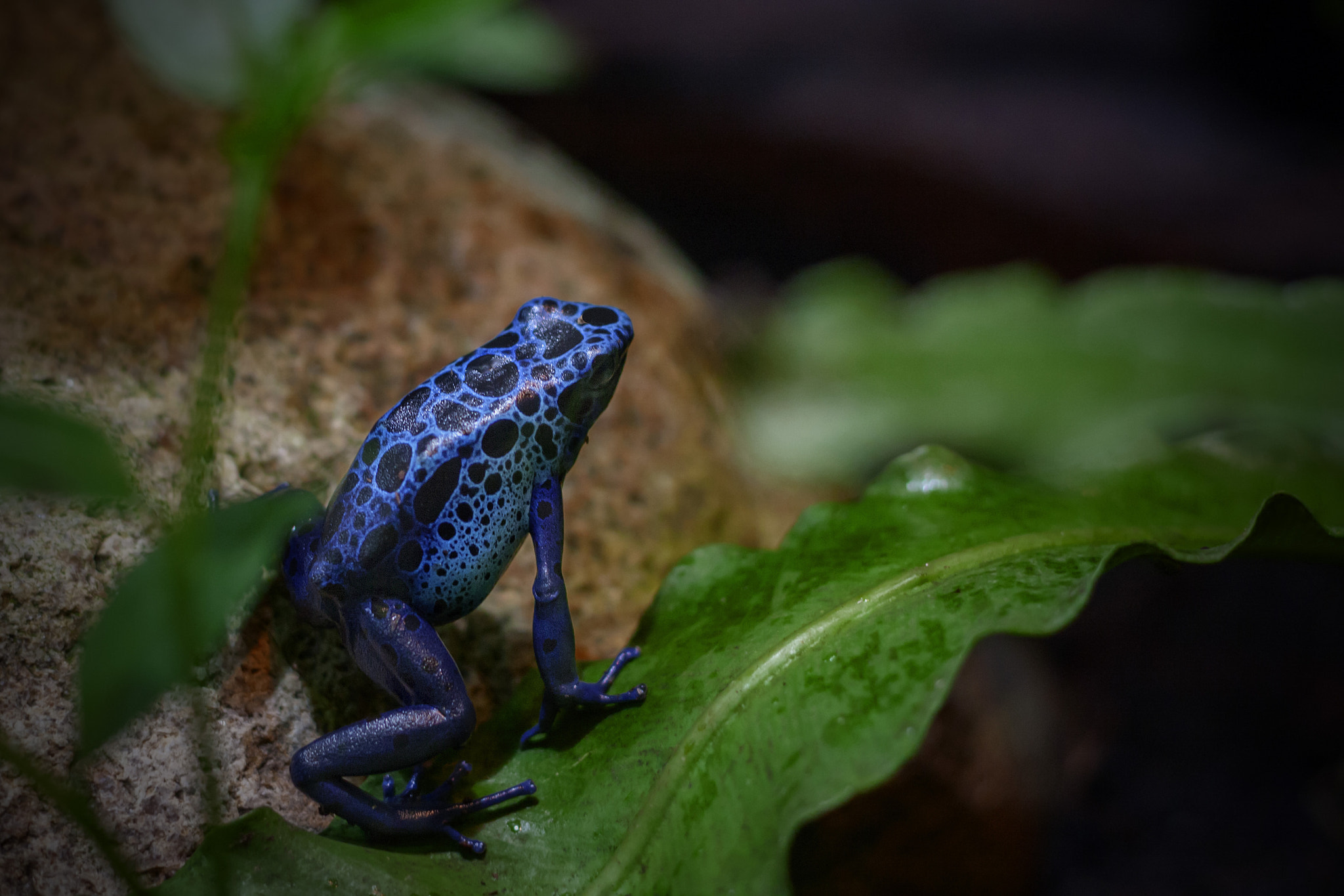 Photograph Blue Frog by Mirza Buljusmic on 500px