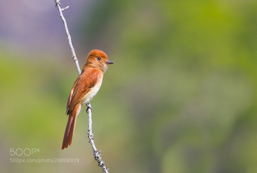 Photograph Rufous Casiornis (Casiornis rufus) by Bertrando Campos on 500px
