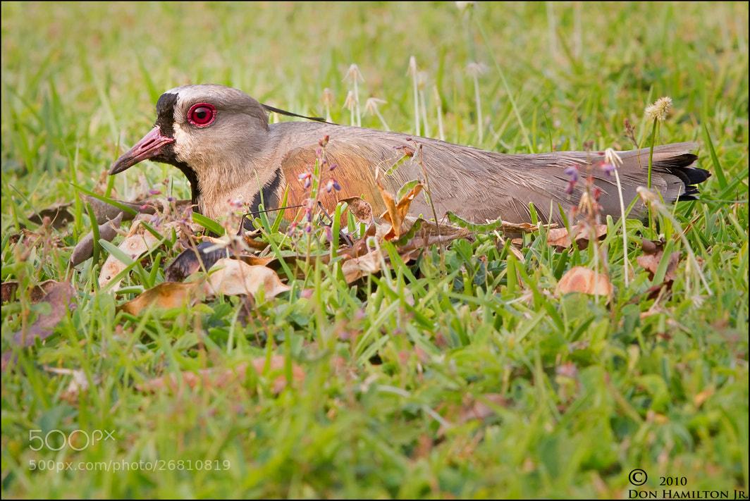 Photograph Iguazu Nesting Mama by Don  Hamilton Jr. on 500px