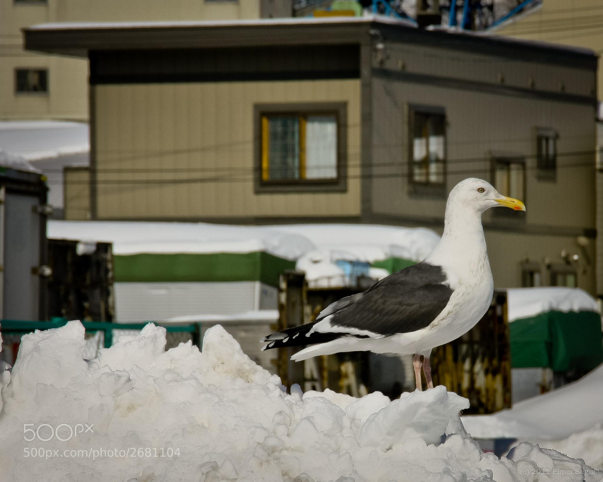 Photograph Seagull in Otaru by Elmer Segui on 500px