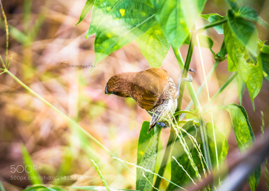Photograph Scaly-breasted Munia  by Samaneethi Krishnan on 500px