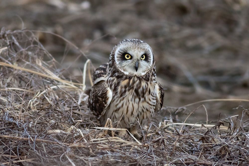 Photograph short-eared owl 쇠부엉이 by JinHyouk Jang on 500px
