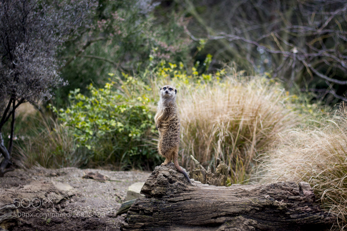 Photograph Edinburgh Zoo - Meerkats 2 by Gordon Foley on 500px