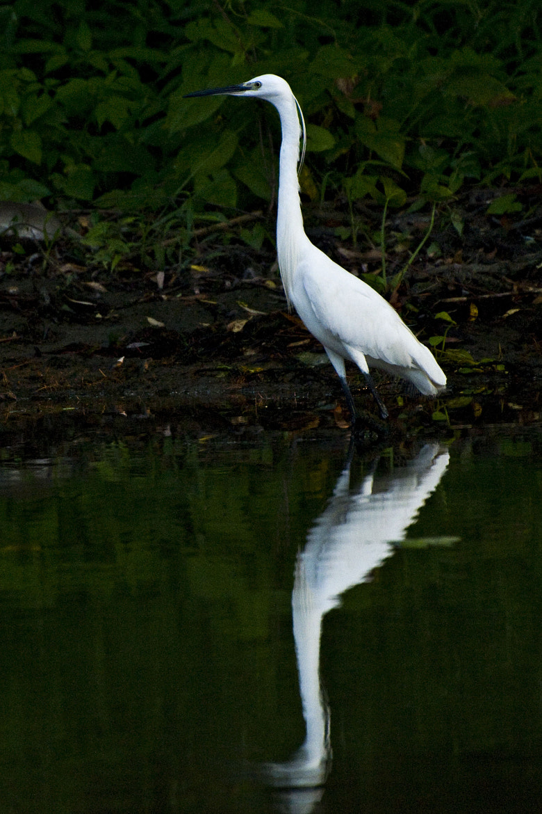 Photograph WHITE EGRET by Daniel Calin on 500px