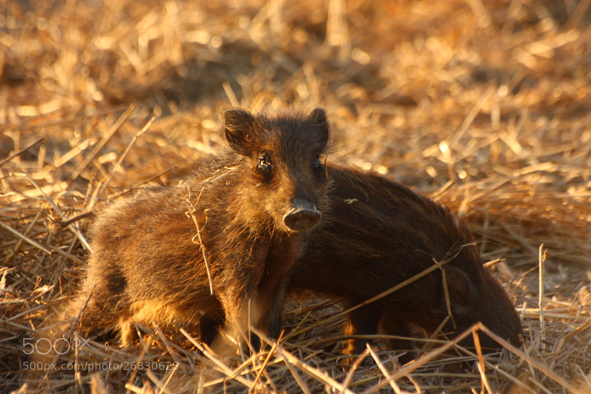 Photograph Little boars by Maristella D'Addario on 500px
