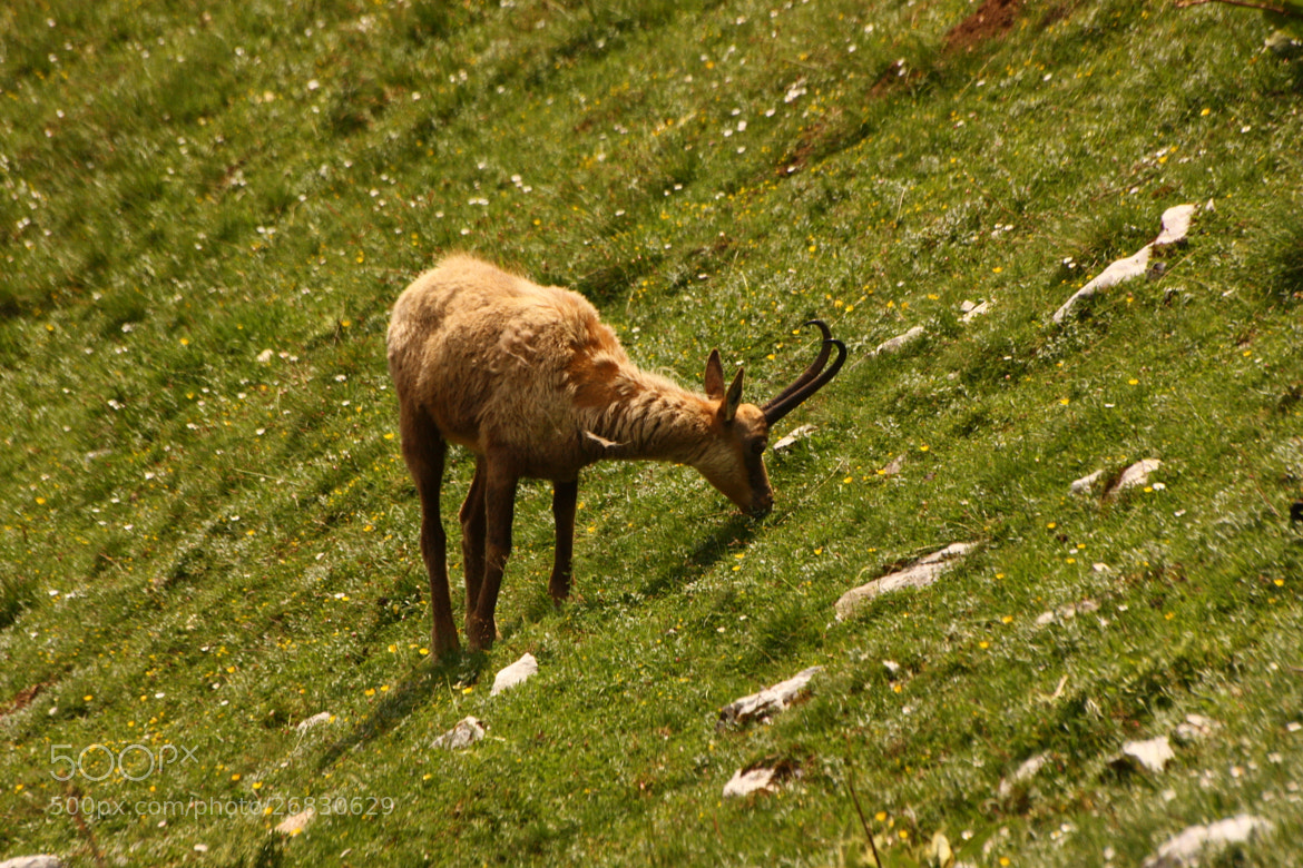 Photograph Chamois by Maristella D'Addario on 500px