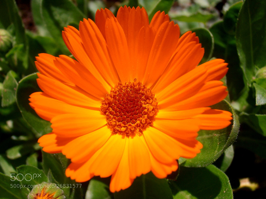 Photograph Marigold flower by Snezana Petrovic on 500px