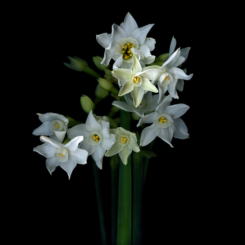 Photograph  FRAGRANT BEAUTIES IN WHITE...Narcissus by Magda Indigo on 500px