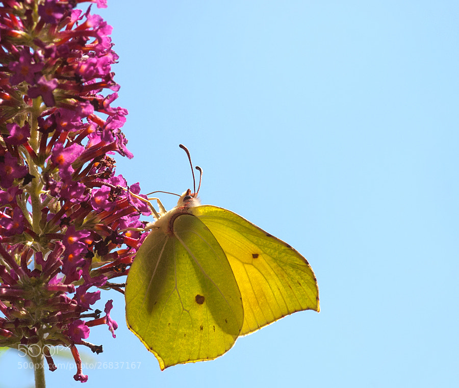 Photograph Common Brimstone by Lucy Filippini on 500px