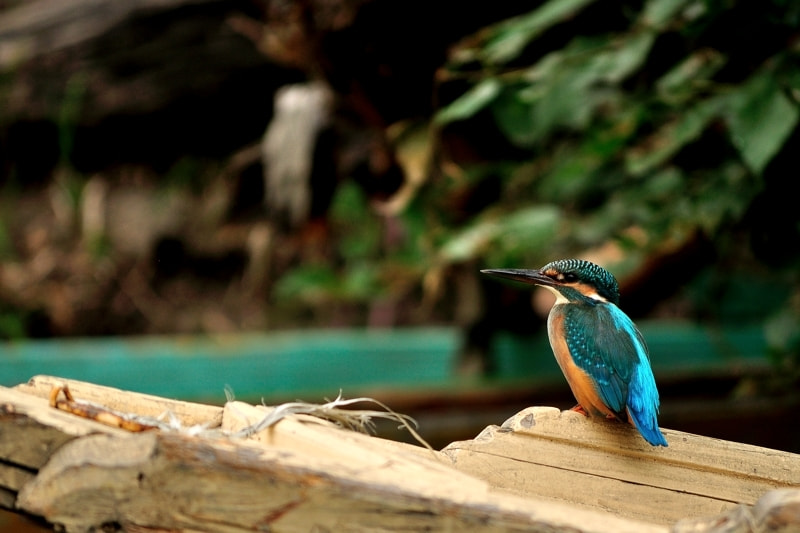 Photograph Kingfisher by Gokul K on 500px