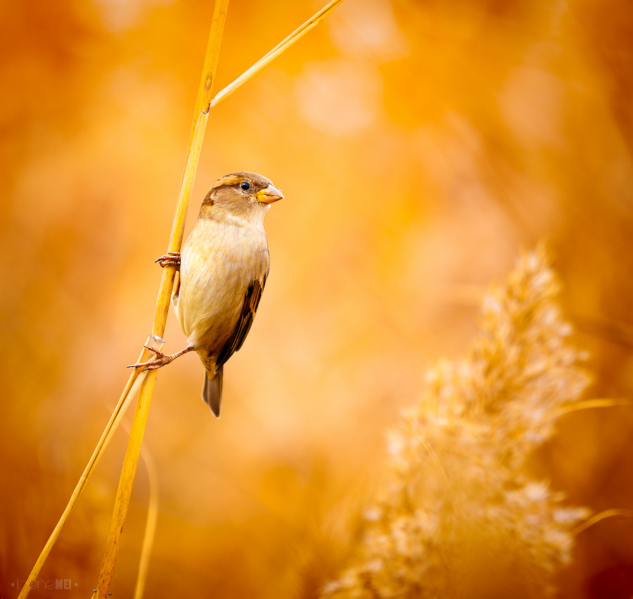 Photograph A Sparrow by Irene Mei on 500px