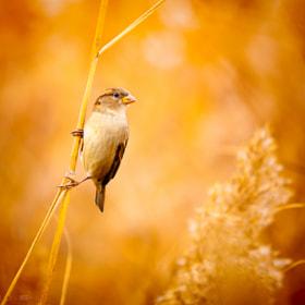 A Sparrow by Irene Mei (Emyan) on 500px.com