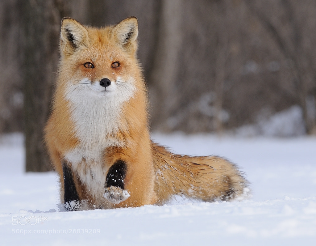 Photograph Red Fox by Rolland Gelly on 500px