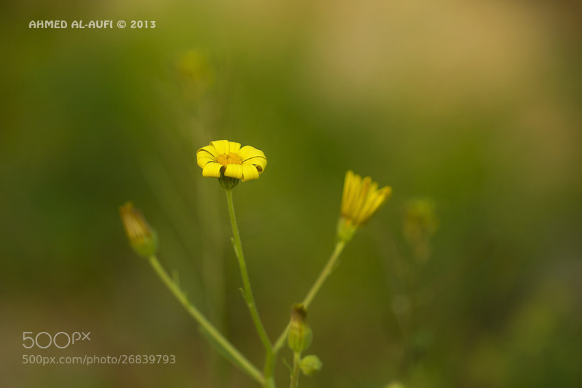 Photograph Yellow Flower by AHMED AL-AUFI on 500px