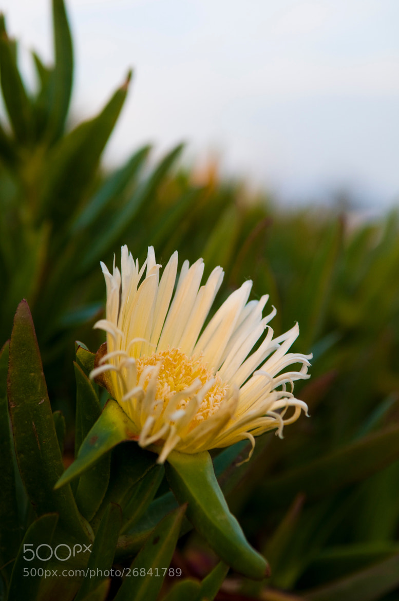 Photograph White Ice Plant by Karl Johnson on 500px