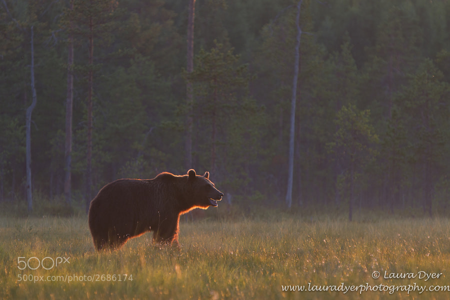 European Brown Bear just before sunset near Khumo, Finland. This bear came out of the forest, quite nervous to be in the open and I wanted to show him in his environment.