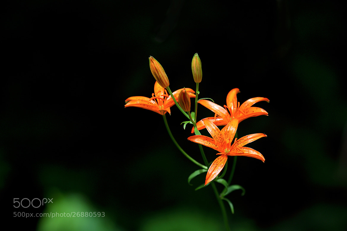 Photograph Korean wheel lily by LEE INHWAN on 500px