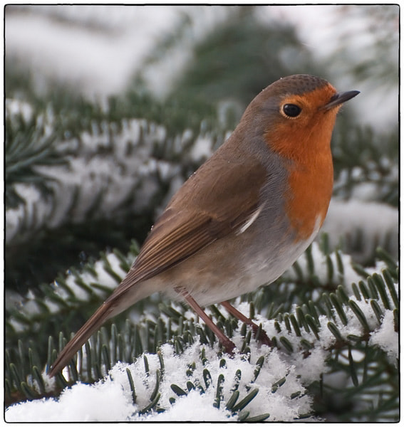 Photograph Robin by Cor Pijpers on 500px