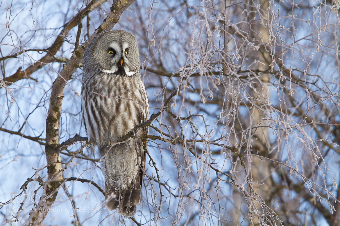 Photograph Great Grey Owl looking for prey by Kim Abel on 500px