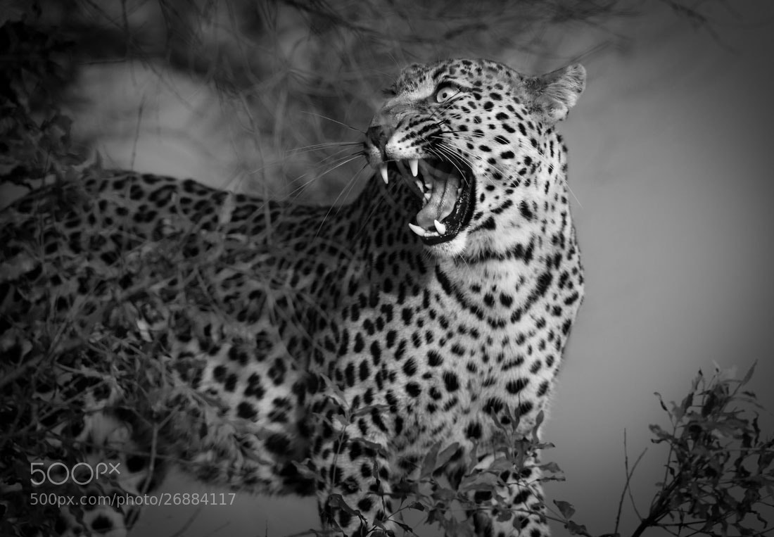 Photograph Feline Fury by Marlon du Toit on 500px