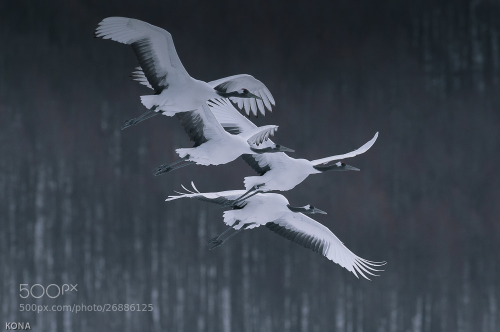 Photograph Family of red-crowned crane by Toru Kona on 500px