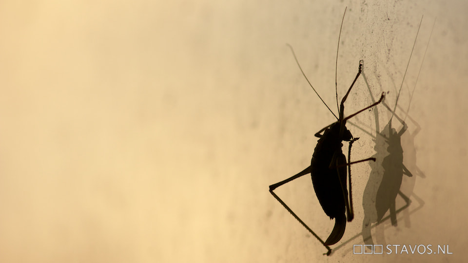 Photograph Bush cricket by stavos on 500px