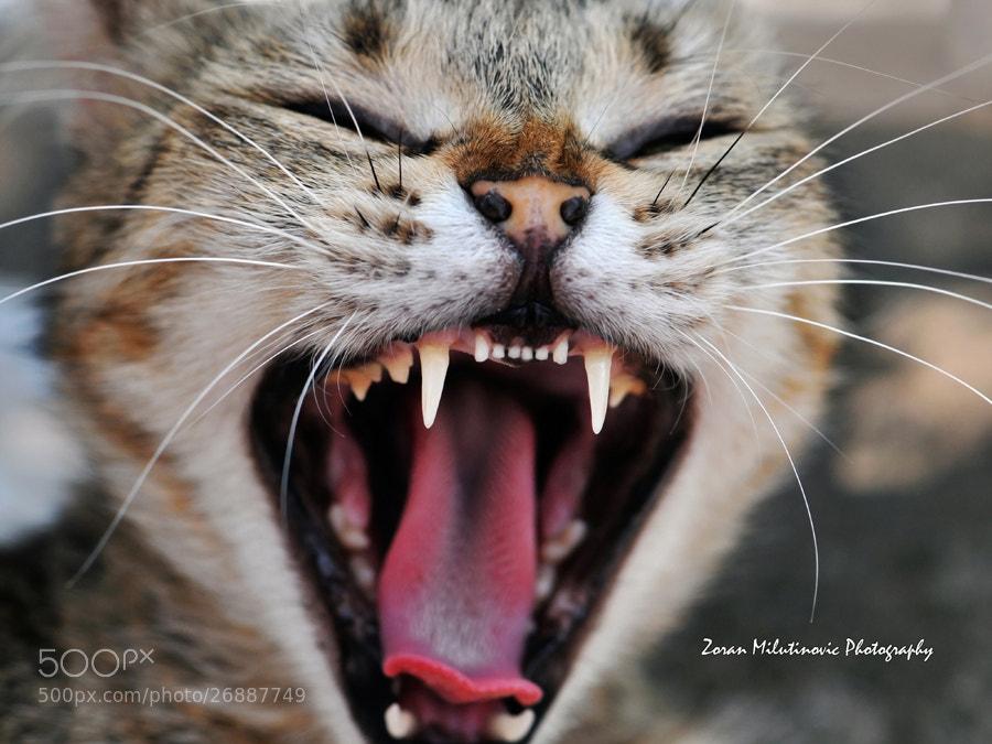 Photograph Vampire Cat by Zoran Milutinovic on 500px