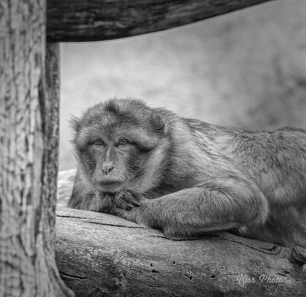 Photograph Thinking monkey by Tamás Kiss on 500px