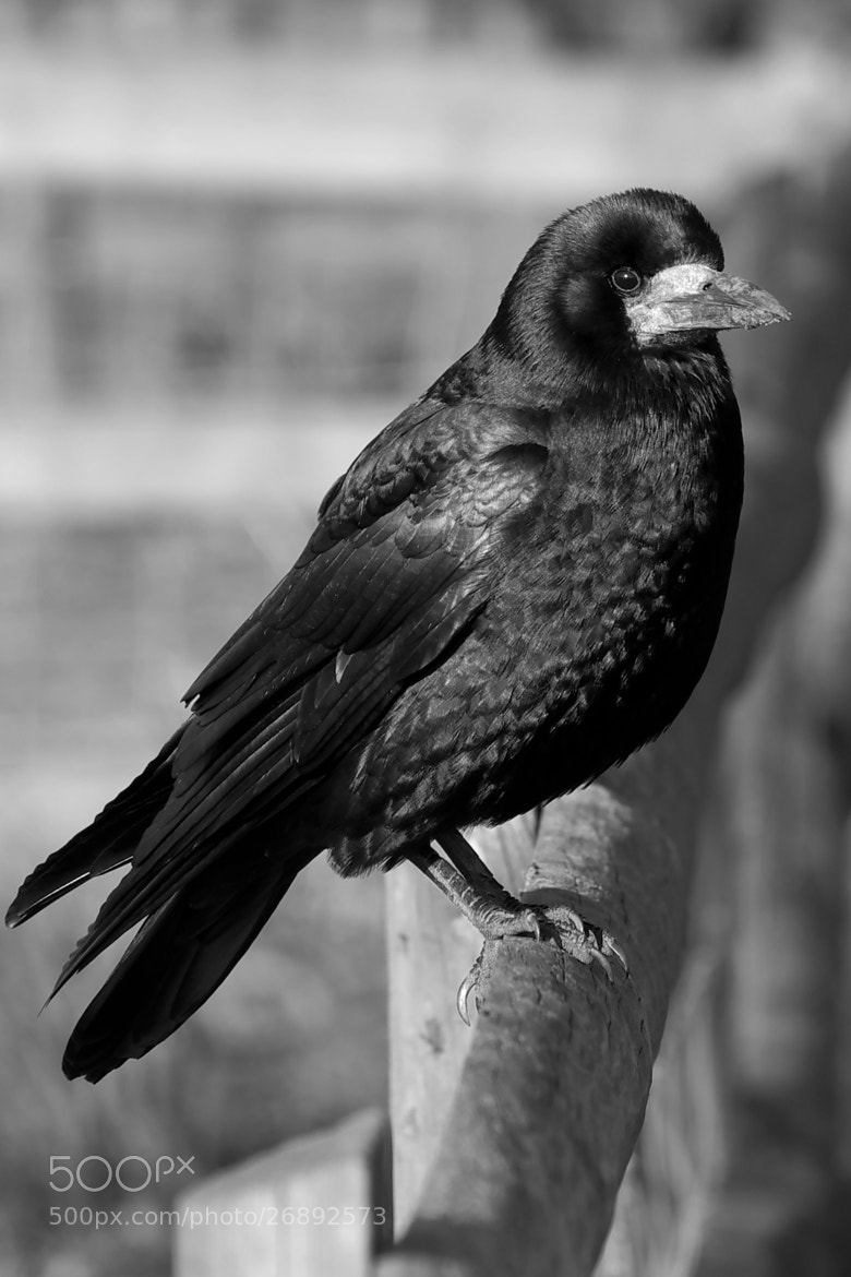 Photograph Crow on a fence by Lee Ashman on 500px