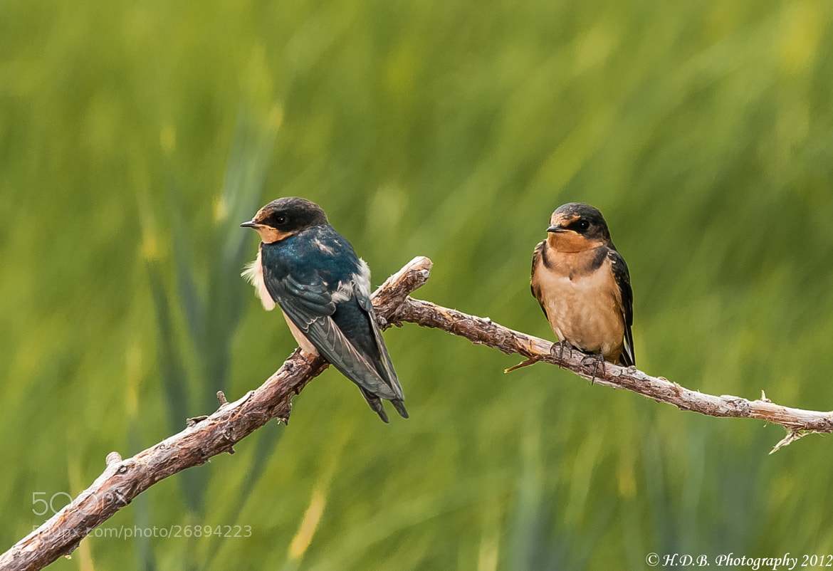 Photograph Swallows by Harold Begun on 500px