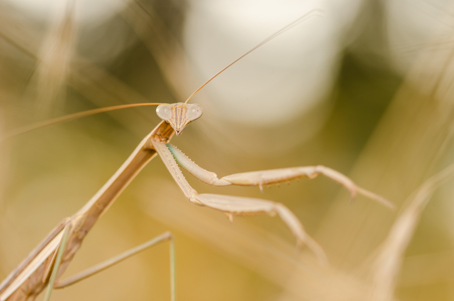 Photograph Mantis by Peerasith Chaisanit on 500px