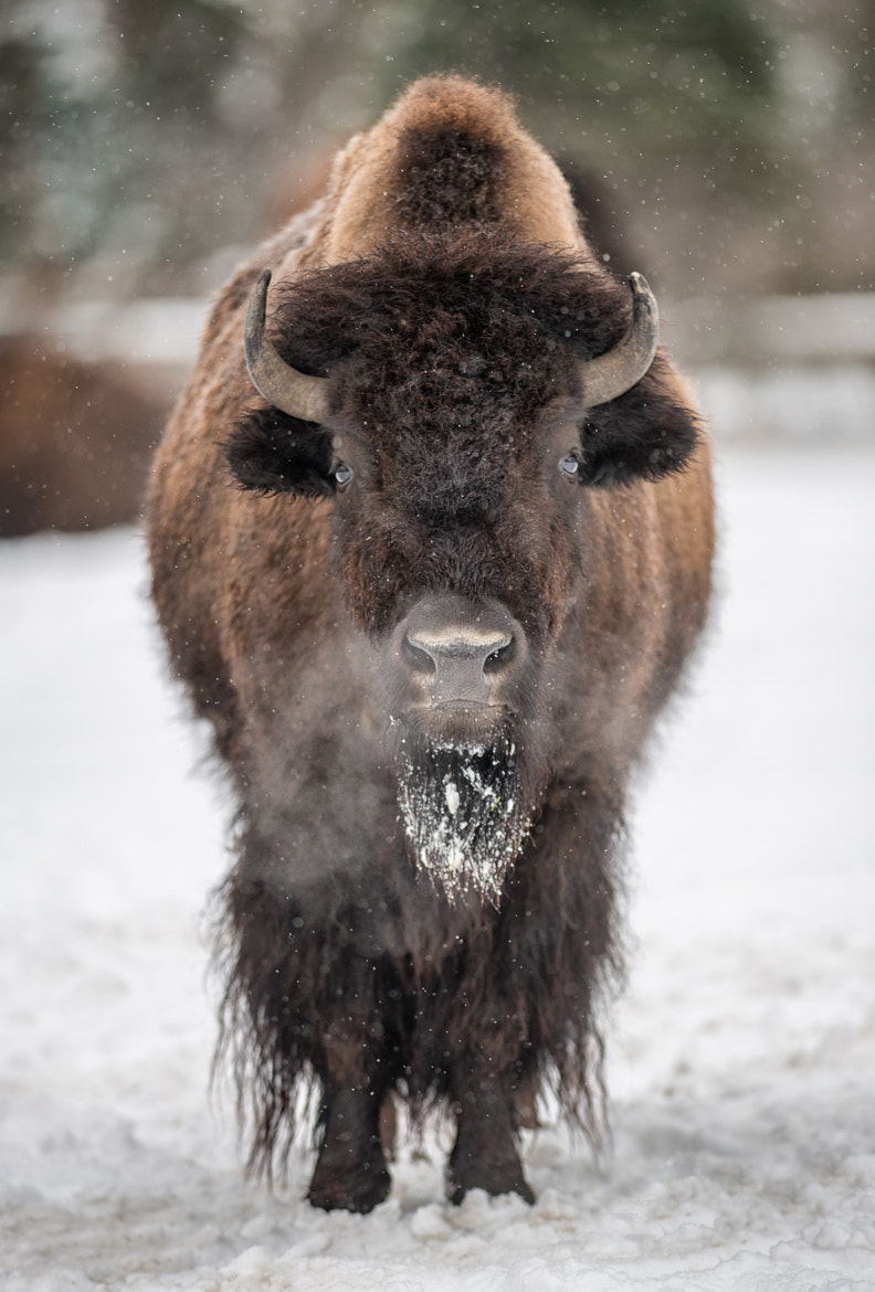 Photograph Bison Breath by Glenn Nagel on 500px