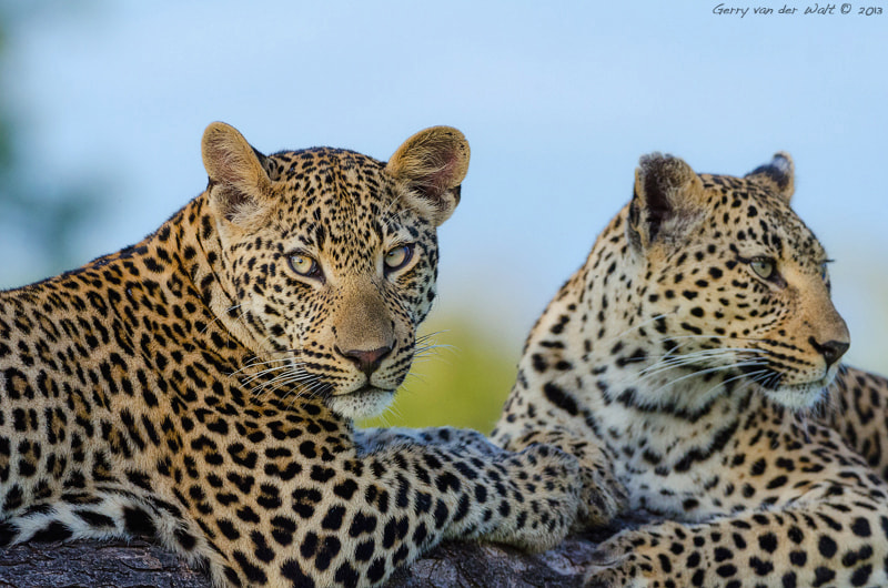 Photograph Double Leopard by Gerry Van der Walt on 500px