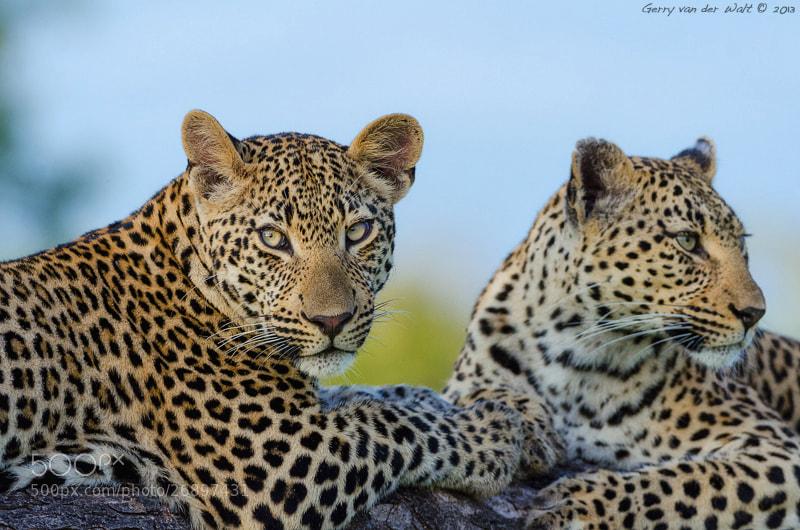 Photograph Double Leopard by Gerry Van der Walt on 500px