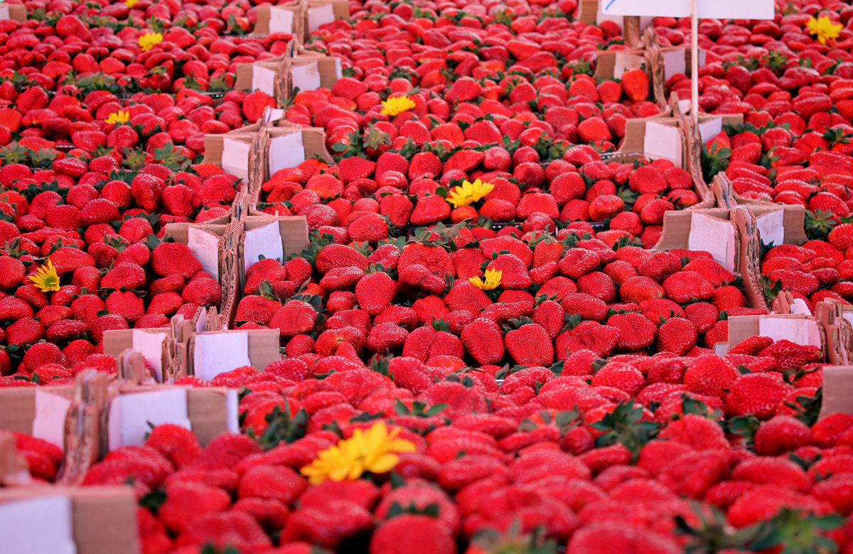 """Photograph Strawberry """"fileds"""". by Everypeedees Mu on 500px"""
