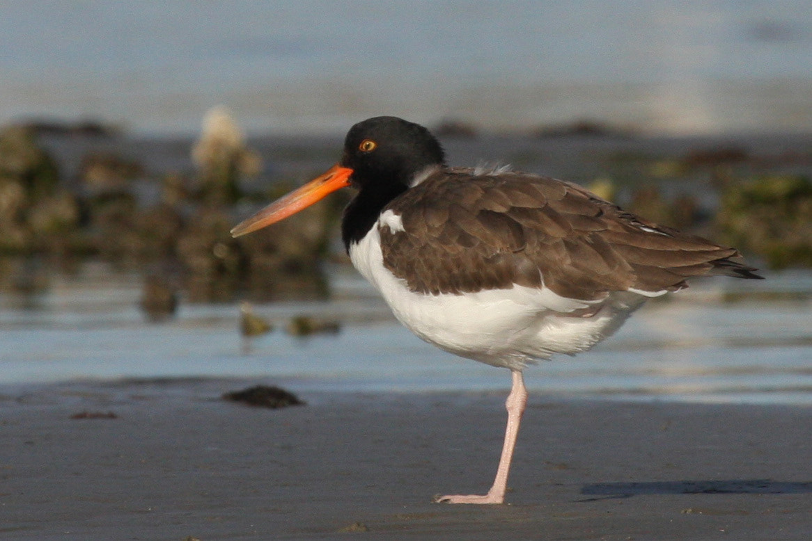 Photograph American Oystercatcher (sub-adult) by Shiloh Schulte on 500px