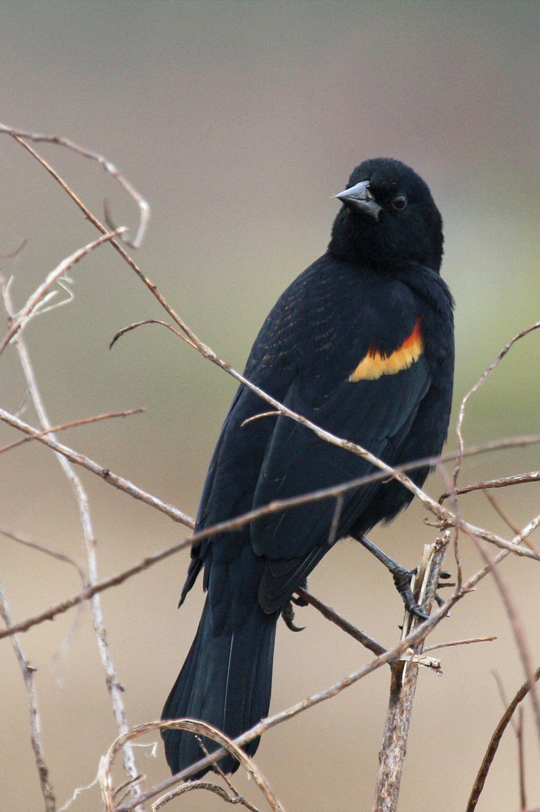 Photograph Red-winged Blackbird by Shiloh Schulte on 500px