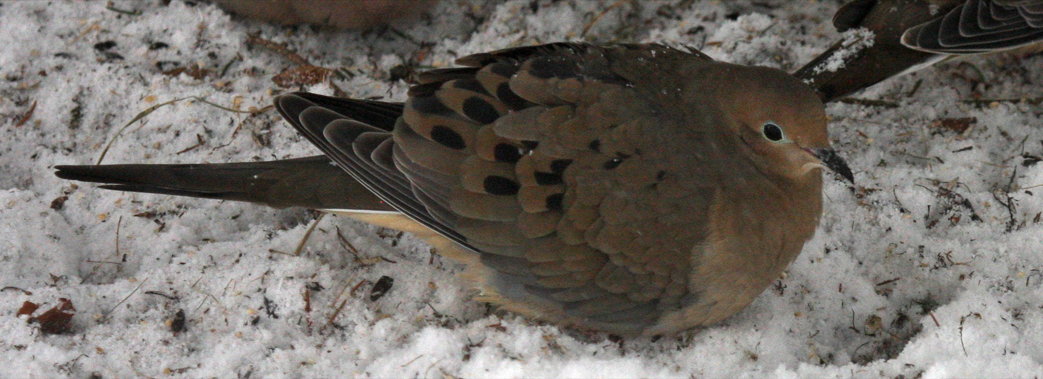 Photograph Mourning Dove by Shiloh Schulte on 500px